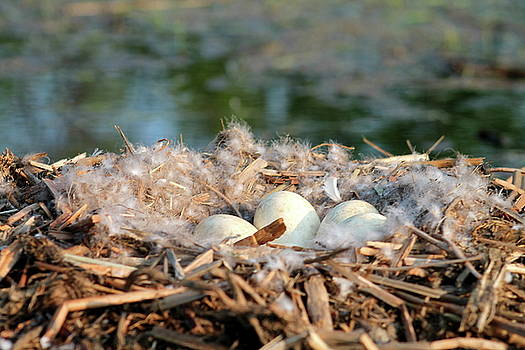 Canada Geese Eggs by Bethany Benike