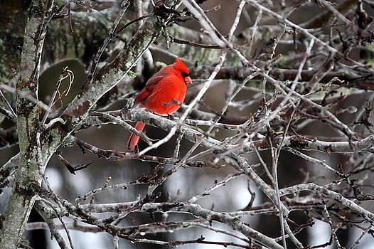 Annie Babineau - cardinal