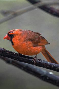 Cardinal in the rain by Steve Gravano