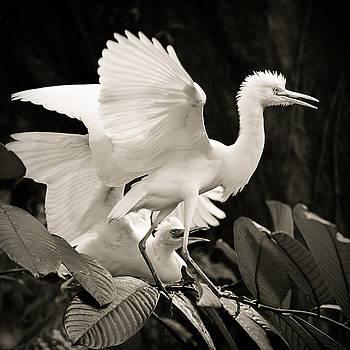 Cattle egret dance by Juhani Viitanen