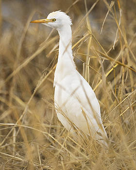 Cattle Egret by Doug Herr