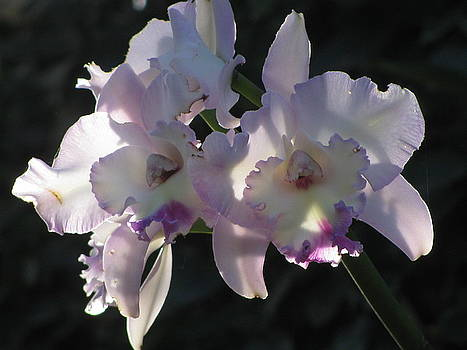 Alfred Ng - cattleya orchid