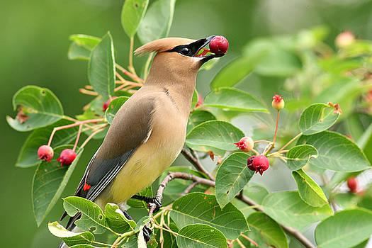 Cedar waxwing eating serviceberry by Doris Dumrauf