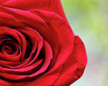 Center Rose by Terri Tiffany