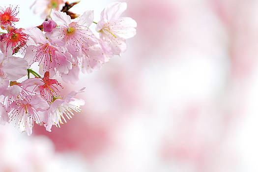 Cherry Blossom macro photography by Yusheng Hsu