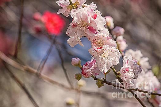 Patricia Hofmeester - Cherry blossom