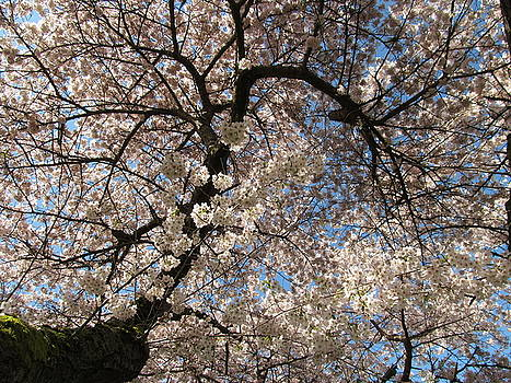 Alfred Ng - cherry blossom time