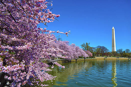 Cherry Blossoms by Mitch Cat