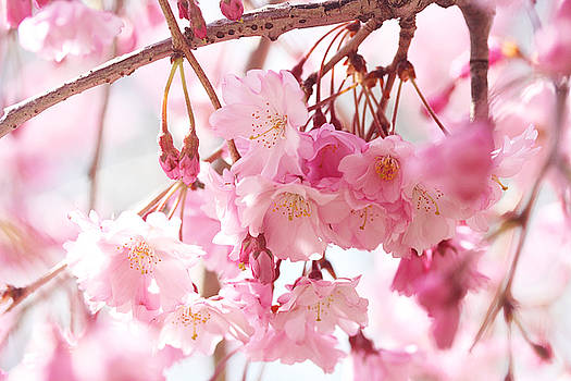 Cherry Blossoms by Trina Ansel