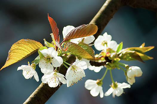 Cherry blossoms by Victoria Savostianova