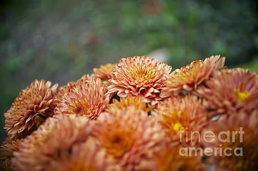Elaine Mikkelstrup - Chrysanthemums