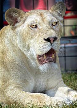 LeeAnn McLaneGoetz McLaneGoetzStudioLLCcom - Circus Lion