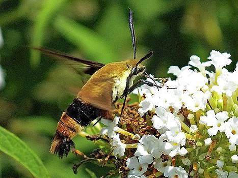 Cindy Treger - Clearwing Hummingbird Moth - Maco