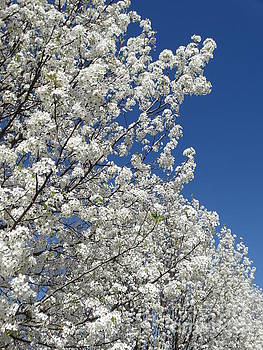 Cleveland Pear Tree Blooming Spring by Rebecca Overton