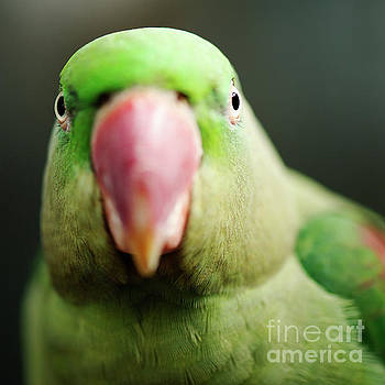 Close up of a King Parrot by Rob D