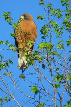 Colorado Swainson's Hawk by John De Bord