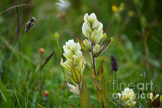 Kate Avery - Colorado Wildflowers