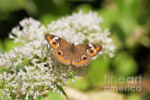 Common Buckeye Butterfly by Jill Lang