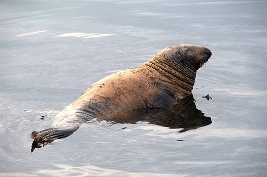 Common Seal by Chris Day