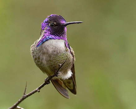 Costa's Hummingbird, Solano County California by Doug Herr