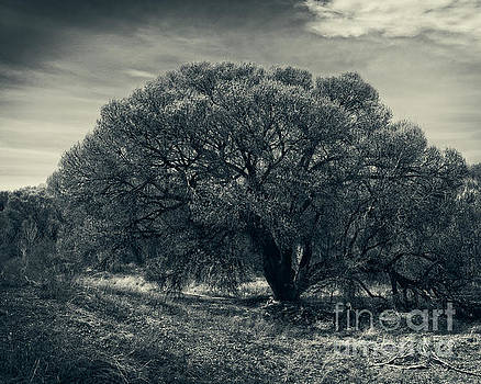 Sandra Selle Rodriguez - Cottonwood Tree