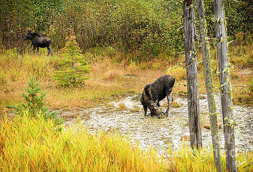 Cow Moose and Calf by Alana Ranney