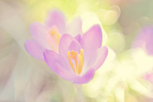 Crocus by Noah Browning