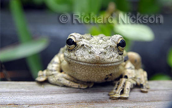 Cuban tree frog by Richard Nickson