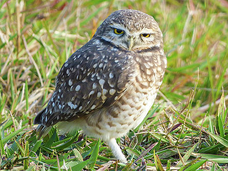 Cute burrowing owl by Helissa Grundemann