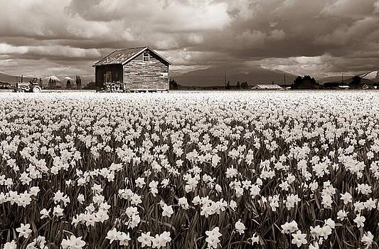 Scott Wheeler - Daffodil Farm