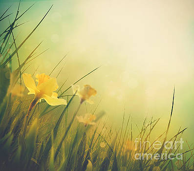 Mythja Photography - Daffodil spring background