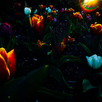 Tulips at Sunrise by Jeff Picoult