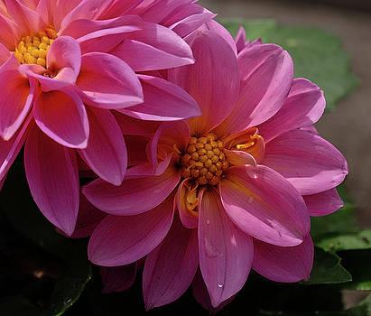 Dahlia beauty by Ronda Ryan