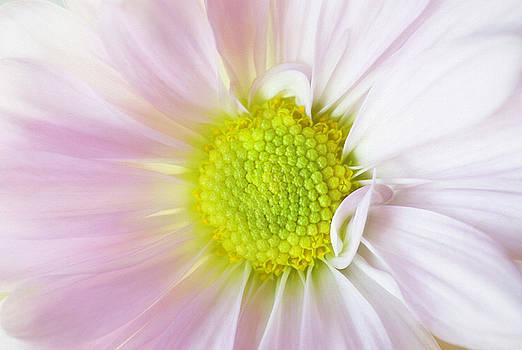 Daisy by Cindi Ressler