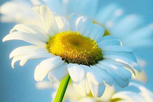 Daisy, Daisy by Lori Frisch