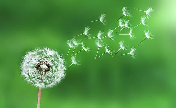 Dandelion seeds by Bess Hamiti