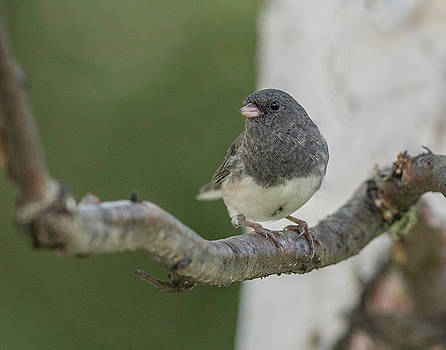 Dee Carpenter - Dark eyed Junco