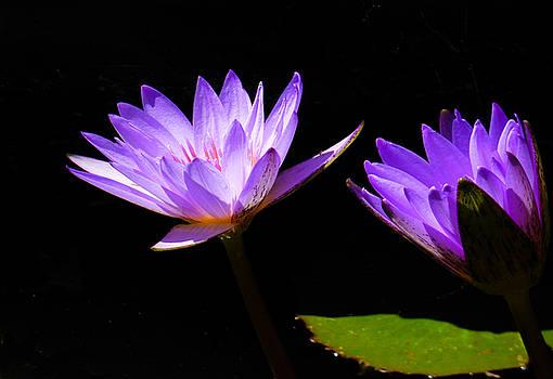 Deep Purple by Rosalie Scanlon
