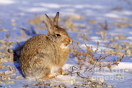 Rod Planck - Desert Cottontail