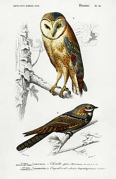 Different illustrated types of birds by Charles Dessalines D' Orbigny
