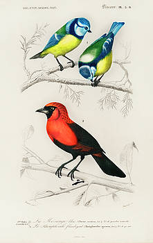 Different types of birds illustrated by Charles Dessalines by Charles Dessalines D' Orbigny