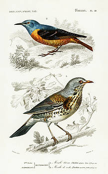 Different types of illustrated birds by Charles Dessalines D' Orbigny