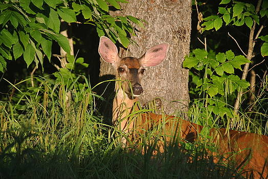 Doe eyes by Pamela Keene