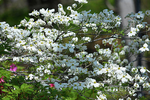 Dogwood Blossoms by Ruth Housley