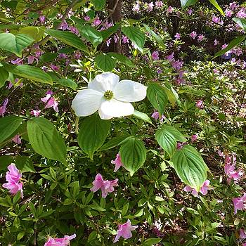 Dogwood by Kay Gilley