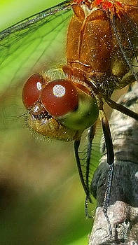 Dragonfly by Bruce Carpenter