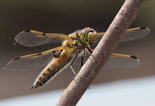 Dee Carpenter - Dragonfly