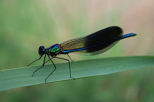 Dragonfly by Julian Perry