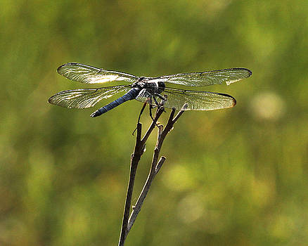 Dragonfly by Richard McRee
