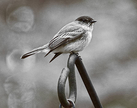 Eastern Phoebe by Robert L Jackson